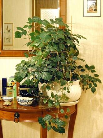 ампельные растения в квартире