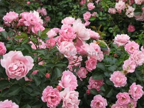 розовые кусты роз