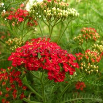 посадка многолетних растений